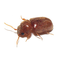 A Drugstore Beetle