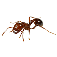 An Imported Fire Ant