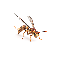 A Paper Wasp