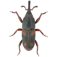 A Rice Weevil